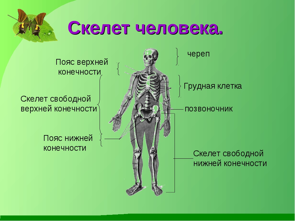 Скелет человека. череп Пояс верхней конечности Скелет свободной нижней конеч...