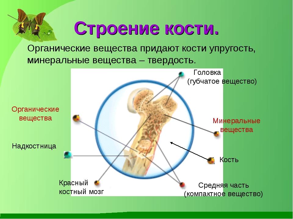 Строение кости. Кость Головка (губчатое вещество) Красный костный мозг Средня...