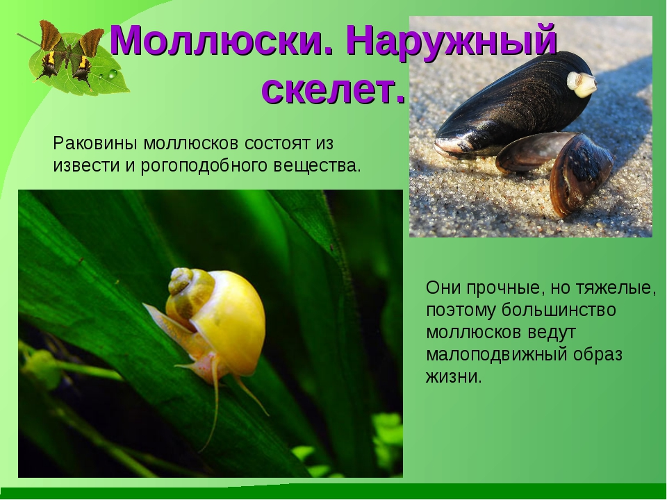 Моллюски. Наружный скелет. Раковины моллюсков состоят из извести и рогоподобн...