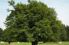 Картинки по запросу кроны деревьев