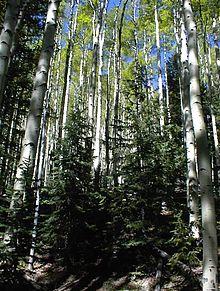 https://upload.wikimedia.org/wikipedia/commons/thumb/2/20/Aspen_trees_grove.jpg/220px-Aspen_trees_grove.jpg