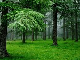 Картинки по запросу очень густой еловый лес