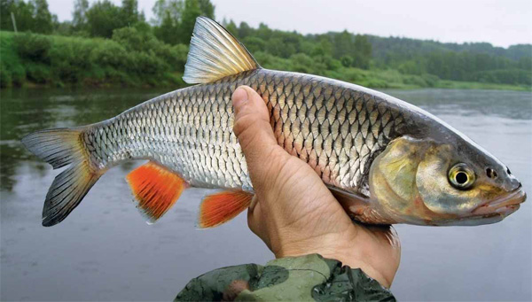 http://fishing.lugansk.ua/wp-content/uploads/2011/12/golavl_01_1.jpg