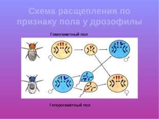 Схема расщепления по признаку пола у дрозофилы Гомогаметный пол Гетерогаметны