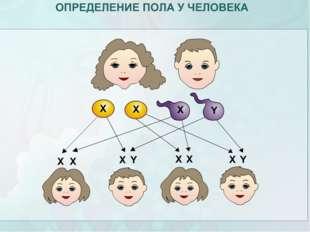 ОПРЕДЕЛЕНИЕ ПОЛА У ЧЕЛОВЕКА Х-хромосома + Х-хромосома = ХХ - женский пол Женс