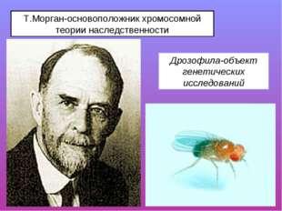 Т.Морган-основоположник хромосомной теории наследственности Дрозофила-объект