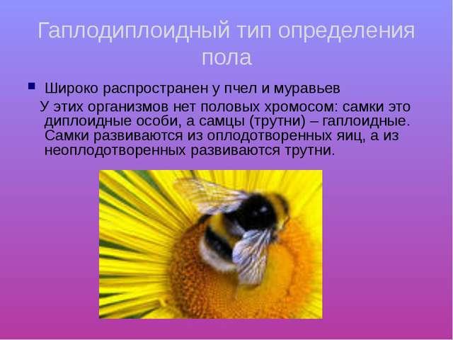Гаплодиплоидный тип определения пола Широко распространен у пчел и муравьев У...