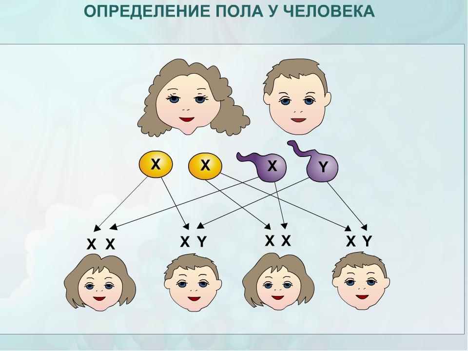 ОПРЕДЕЛЕНИЕ ПОЛА У ЧЕЛОВЕКА Х-хромосома + Х-хромосома = ХХ - женский пол Женс...