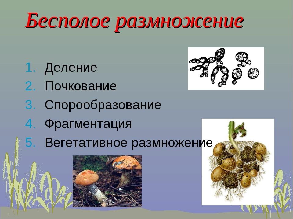 Бесполое размножение Деление Почкование Спорообразование Фрагментация Вегетат...