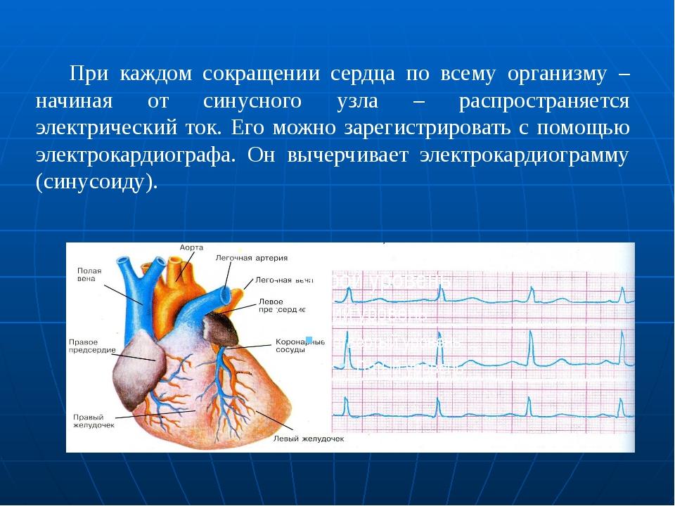 При каждом сокращении сердца по всему организму – начиная от синусного узл...