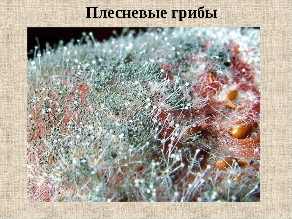 виды плесневых грибов с фото используется практически