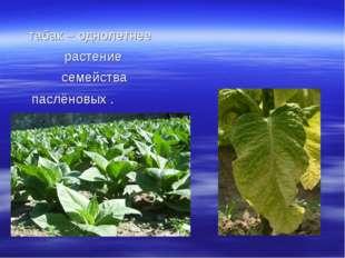 табак – однолетнее растение семейства паслёновых .