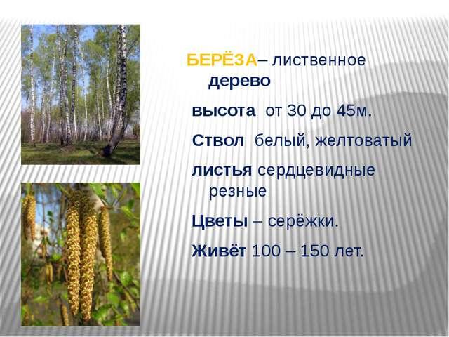 БЕРЁЗА– лиственное дерево высота от 30 до 45м. Ствол белый, желтоватый листья...