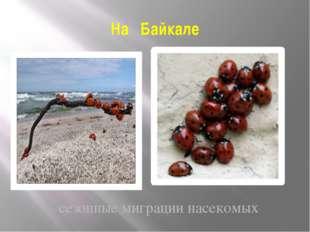 На Байкале сезонные миграции насекомых