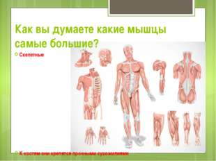Как вы думаете какие мышцы самые большие? Скелетные К костям они крепятся про