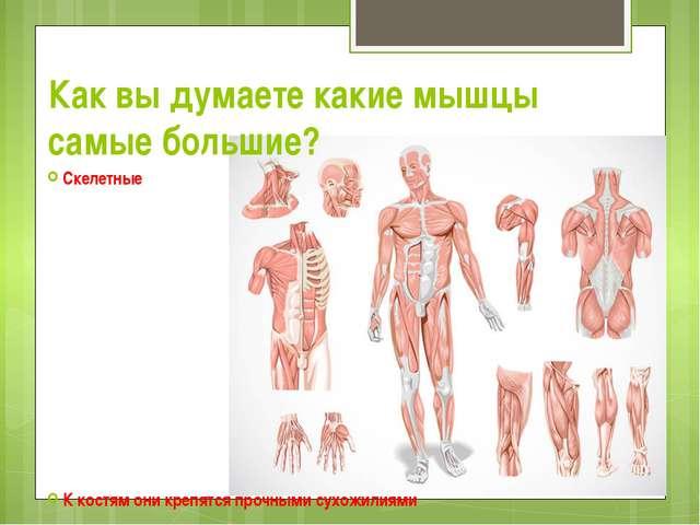 Как вы думаете какие мышцы самые большие? Скелетные К костям они крепятся про...