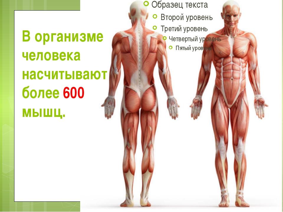 В организме человека насчитывают более 600 мышц.
