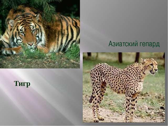 Азиатский гепард Тигр
