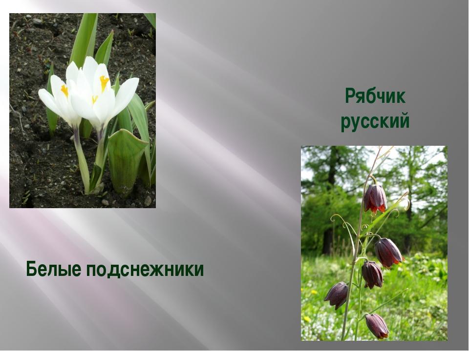 Белые подснежники Рябчик русский