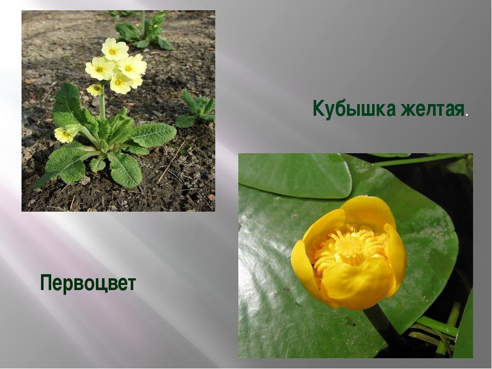 Первоцвет Кубышка желтая.