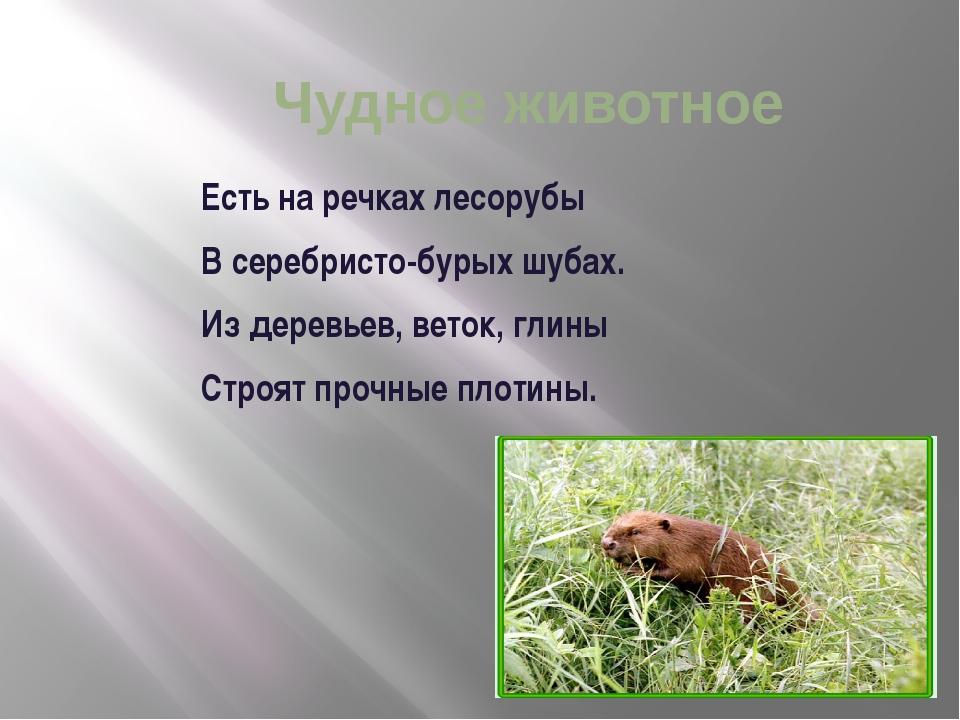Чудное животное Есть на речках лесорубы В серебристо-бурых шубах. Из дерев...