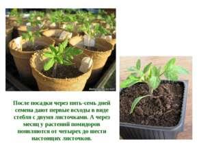После посадки через пять-семь дней семена дают первые всходы в виде стебля с