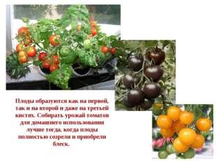 Плоды образуются как на первой, так и на второй и даже на третьей кистях. Соб