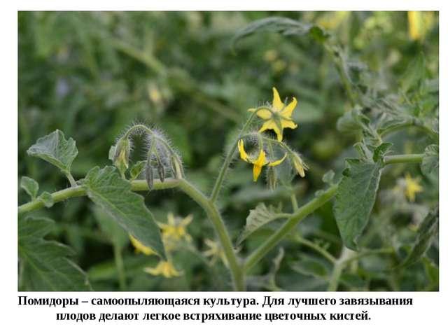 Помидоры – самоопыляющаяся культура. Для лучшего завязывания плодов делают ле...