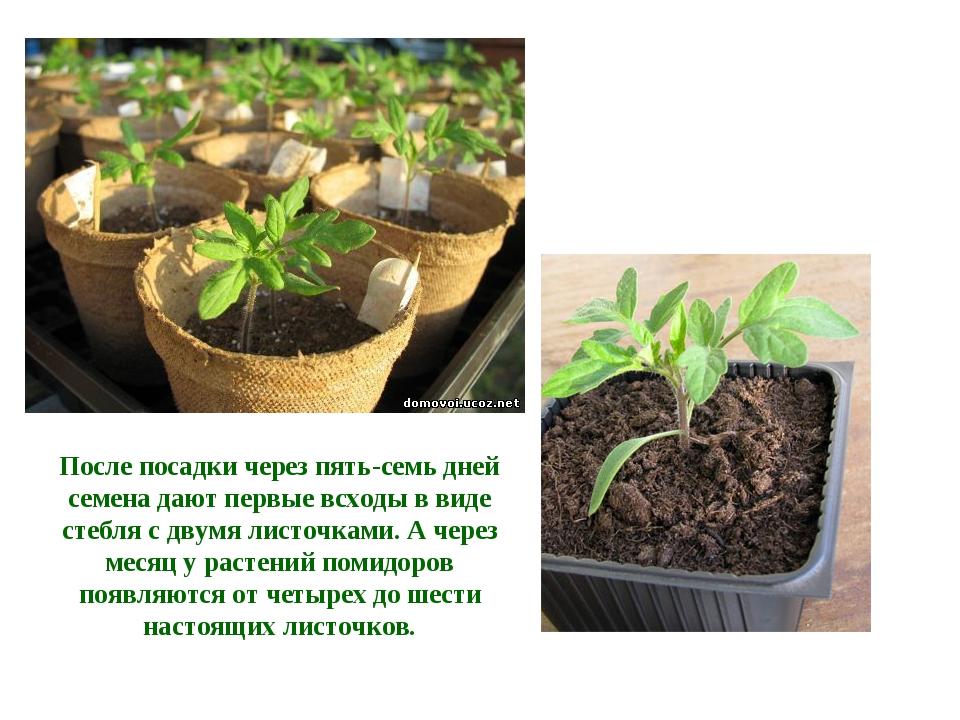 После посадки через пять-семь дней семена дают первые всходы в виде стебля с...