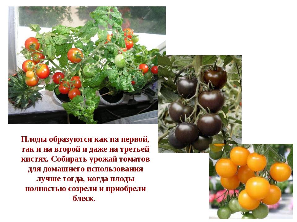 Плоды образуются как на первой, так и на второй и даже на третьей кистях. Соб...