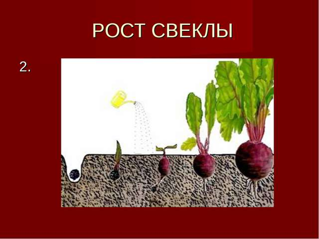 РОСТ СВЕКЛЫ 2.