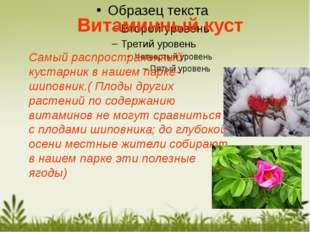 Самый распространенный кустарник в нашем парке-шиповник.( Плоды других растен