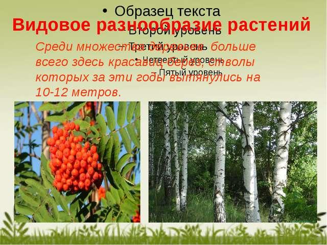 Среди множества деревьев больше всего здесь красавиц-берез, стволы которых за...