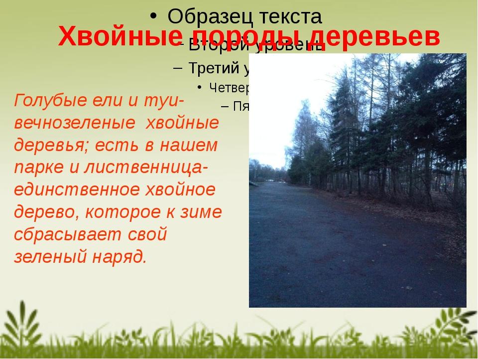 Голубые ели и туи-вечнозеленые хвойные деревья; есть в нашем парке и лиственн...