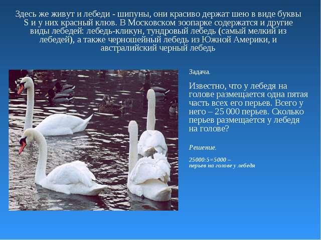 Здесь же живут и лебеди - шипуны, они красиво держат шею в виде буквы S и у н...