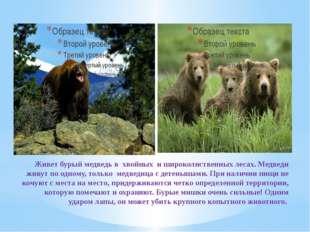 Живет бурый медведь в хвойных и широколиственных лесах. Медведи живут по одно