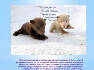 В январе или феврале медведицы рожают медвежат. Обычно это 2-3 медвежонка ве