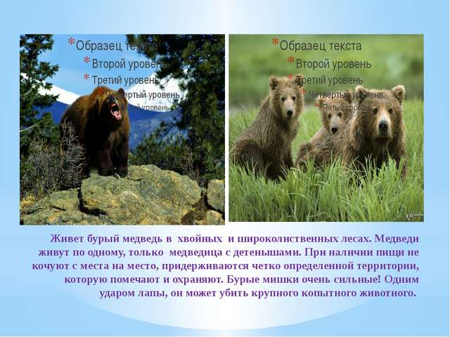 Живет бурый медведь в хвойных и широколиственных лесах. Медведи живут по одно...