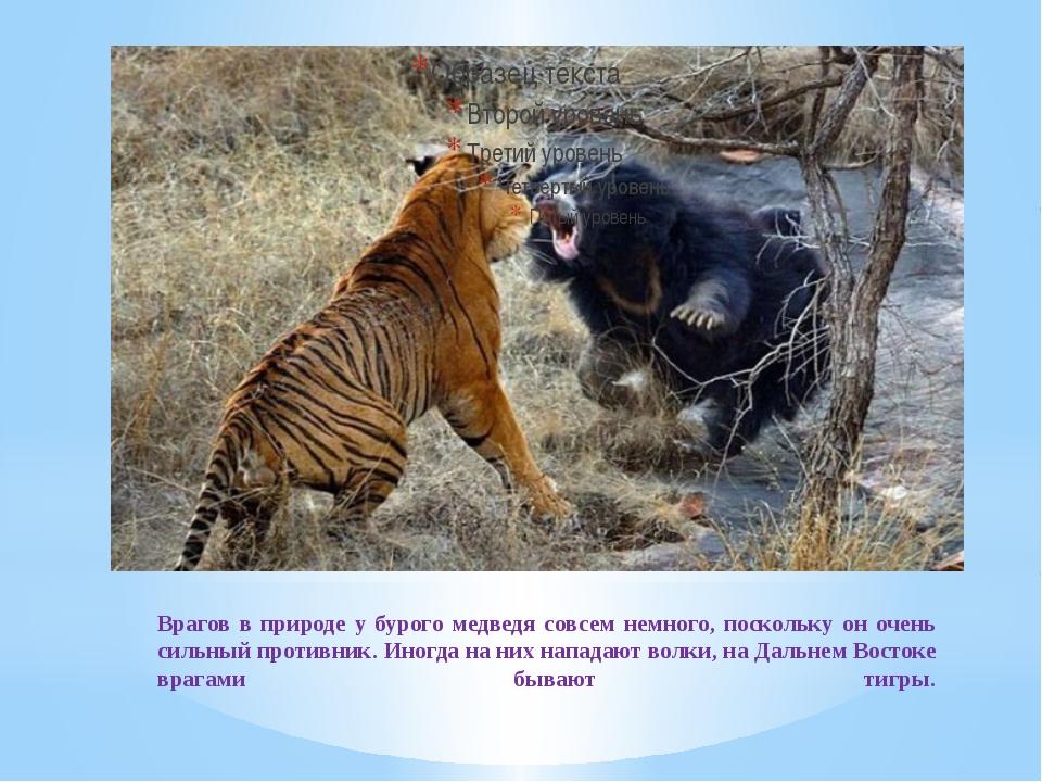 Врагов в природе у бурого медведя совсем немного, поскольку он очень сильный...