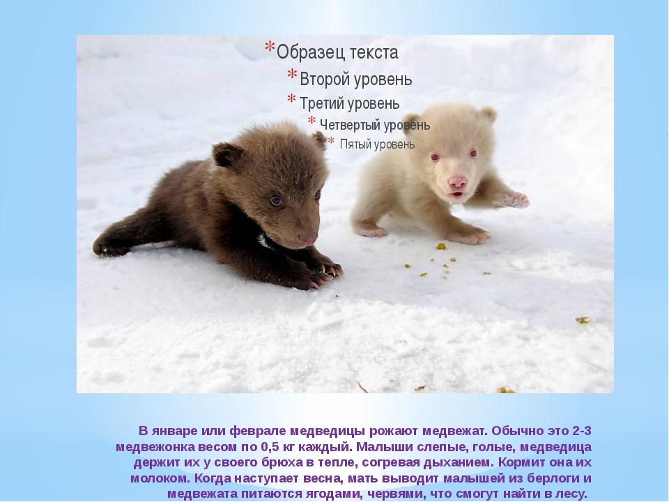 В январе или феврале медведицы рожают медвежат. Обычно это 2-3 медвежонка ве...