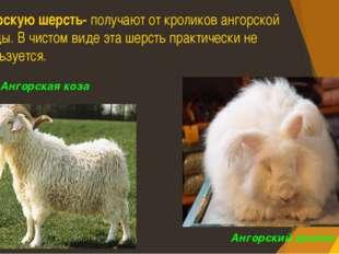 Ангорскую шерсть- получают от кроликов ангорской породы. В чистом виде эта ше