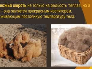 Верблюжья шерсть не только на редкость теплая, но и мудрая - она является пр