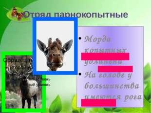 Отряд парнокопытные Морда копытных удлинена На голове у большинства имеются р