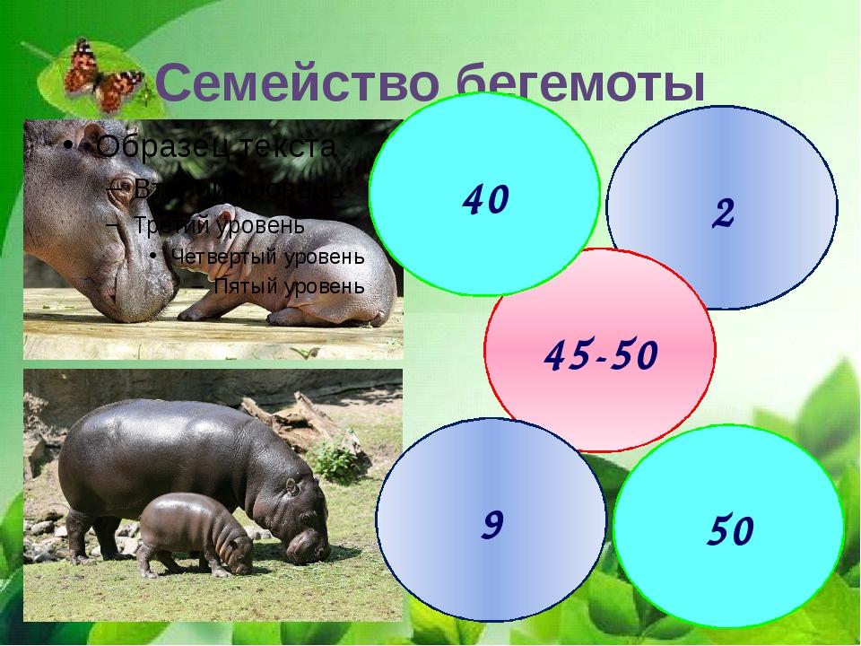 Семейство бегемоты 2 45-50 40 9 50