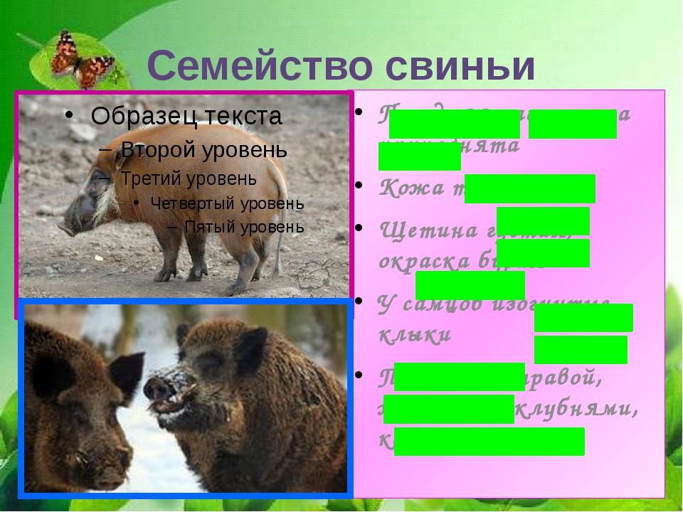Семейство свиньи Передняя часть тела приподнята Кожа толстая Щетина густая, о...