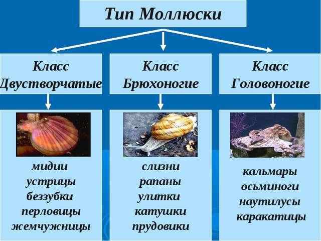 Тип Моллюски Класс Двустворчатые Класс Головоногие Класс Брюхоногие мидии уст...