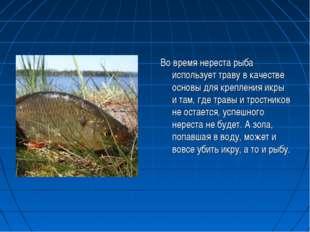 Во время нереста рыба использует траву в качестве основы для крепления икры и