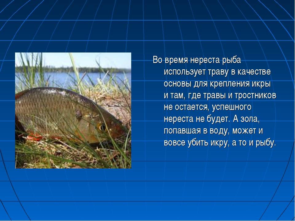Во время нереста рыба использует траву в качестве основы для крепления икры и...