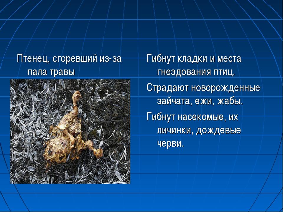 Птенец, сгоревший из-за пала травы Гибнут кладки и места гнездования птиц. Ст...