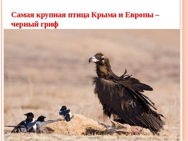 Самая крупная птица Крыма и Европы – черный гриф